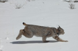 Purgatory lynx died of natural causes