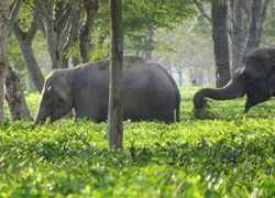 Elephant-friendly Assam